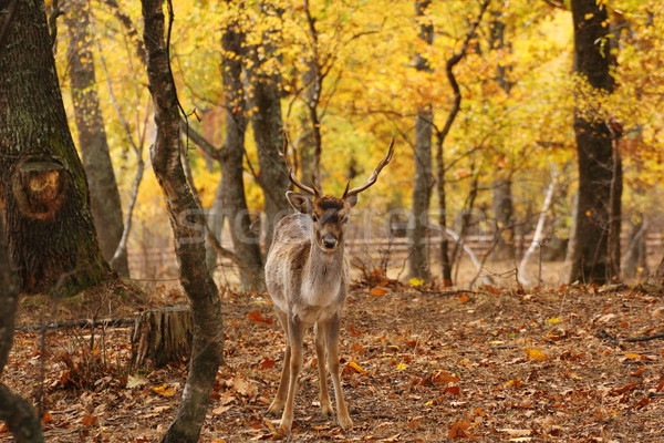 Stock photo: fallow deer in the forest