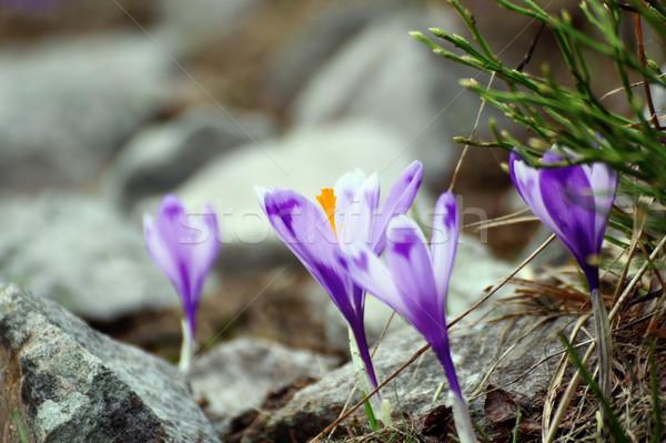 Vad virágok növekvő kikerics felső hegy tavasz Stock fotó © taviphoto