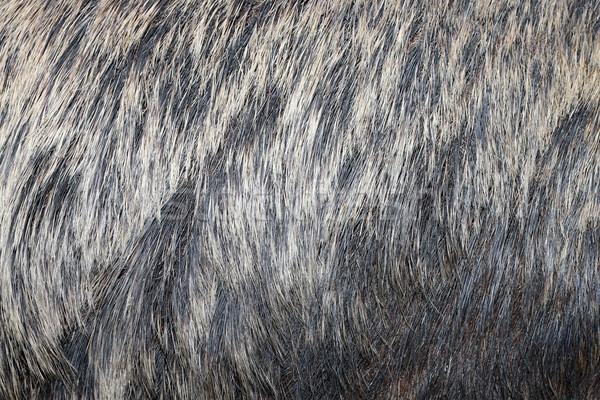 европейский кабан мех реальный Сток-фото © taviphoto