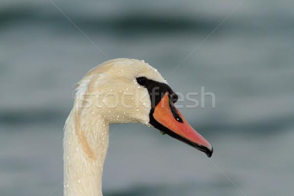 Silenciar cisne retrato mojado belleza naranja Foto stock © taviphoto