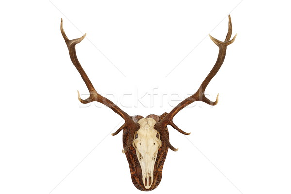 majestic red deer stag hunting trophy Stock photo © taviphoto