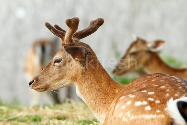 dama buck with growing trophy Stock photo © taviphoto