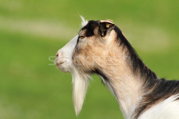Profil házi kecske zöld homályos háttér Stock fotó © taviphoto