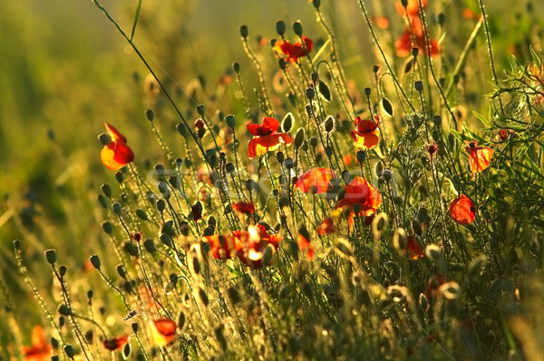 field of wild red poppies Stock photo © taviphoto