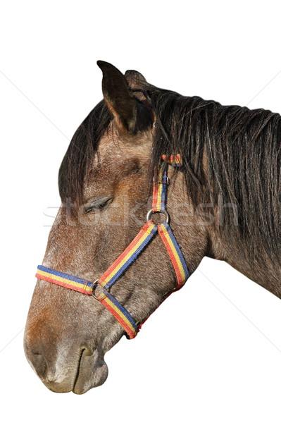 isolated horse portrait Stock photo © taviphoto