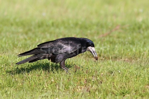 rook foraging on lawn Stock photo © taviphoto