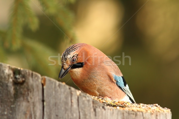 jay eating at garden bird feeder Stock photo © taviphoto