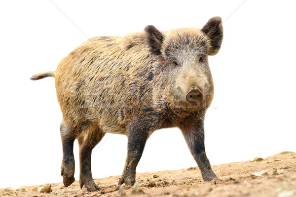 isolated walking wild boar Stock photo © taviphoto