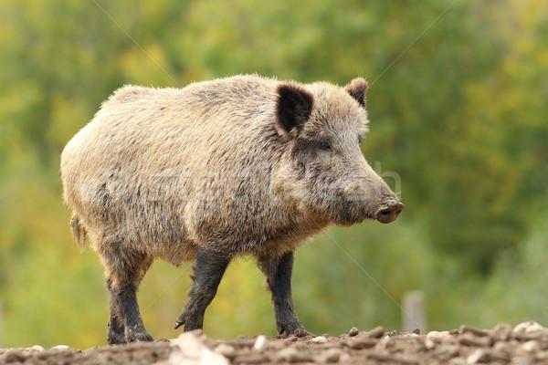 big wild boar near the green forest Stock photo © taviphoto