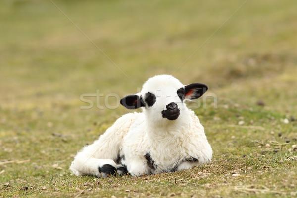 白 怠惰な 子羊 緑 草原 ストックフォト © taviphoto