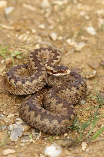 european crossed adder on the ground Stock photo © taviphoto