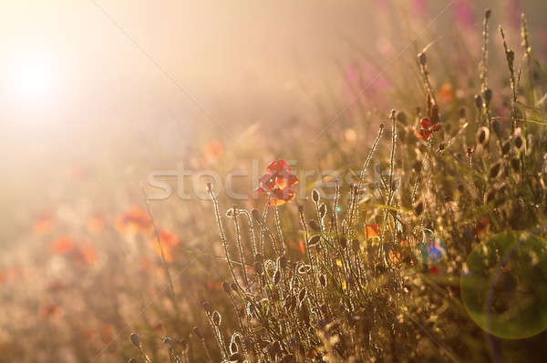wild poppies in sunset light Stock photo © taviphoto