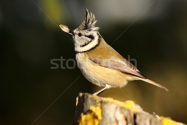 crested tit eating sunflower seed Stock photo © taviphoto