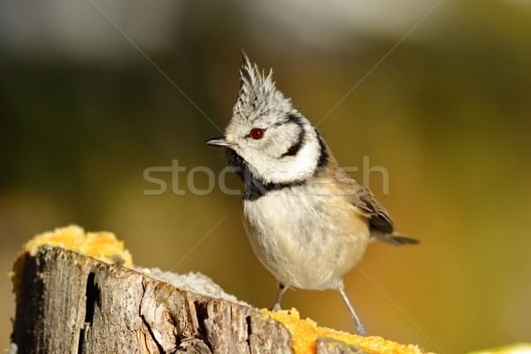 funny european crested tit Stock photo © taviphoto