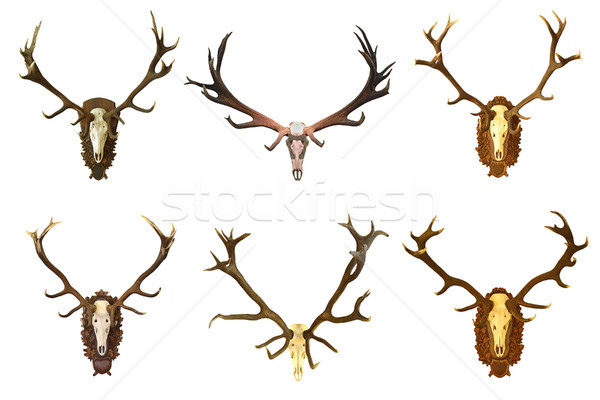 collection of huge red deer buck hunting trophies Stock photo © taviphoto