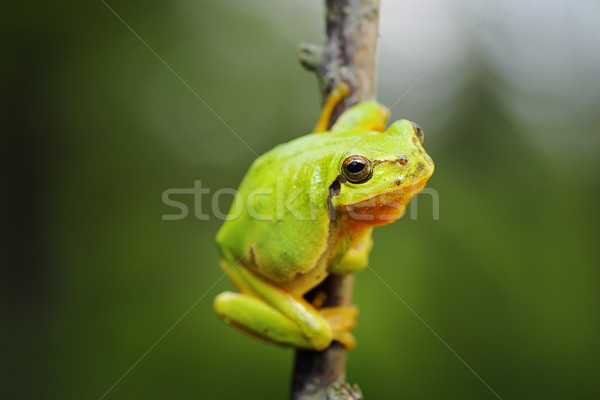 cute tree frog climbing on twig Stock photo © taviphoto