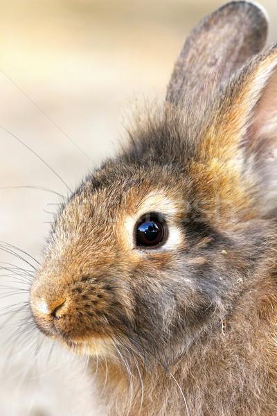 cute portrait of a rabbit Stock photo © taviphoto