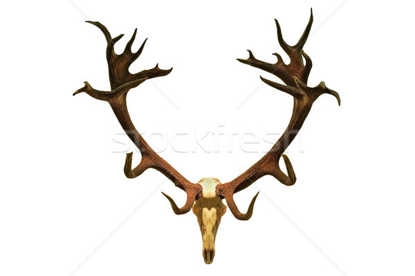huge red deer hunting trophy Stock photo © taviphoto