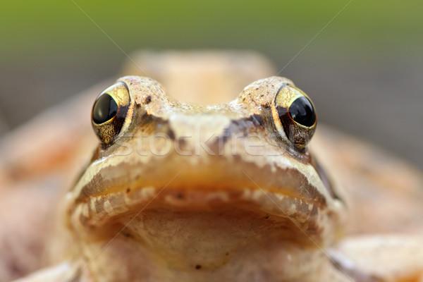 macro portrait of european grass frog Stock photo © taviphoto