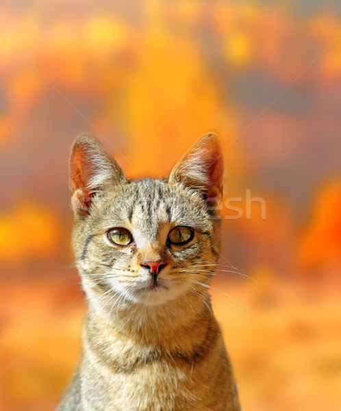 cat portrait over autumn colors background Stock photo © taviphoto