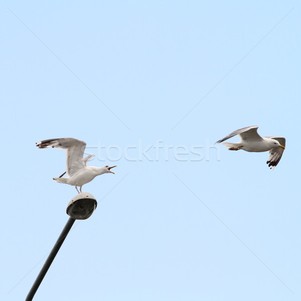 gulls arguing for electric post Stock photo © taviphoto