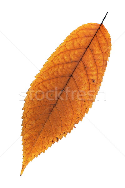 isolated faded cherry leaf Stock photo © taviphoto