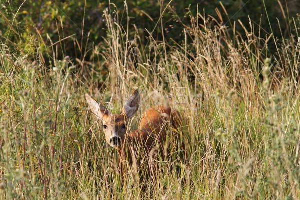 curious roe deer hind Stock photo © taviphoto