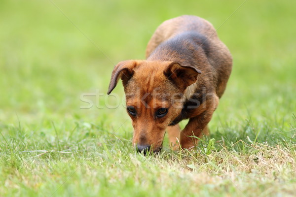 mongrel dog in the field Stock photo © taviphoto