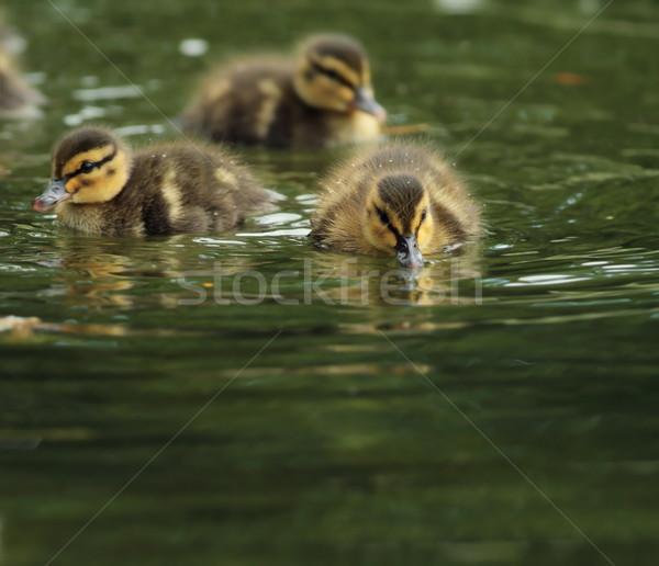 Minuscolo piccolo acqua anatra famiglia Foto d'archivio © taviphoto