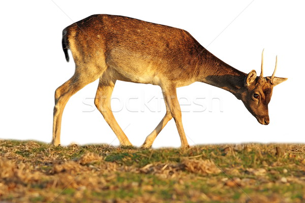 isolated fallow deer calf grazing Stock photo © taviphoto