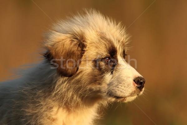 puppy of a sheperd dog portrait Stock photo © taviphoto