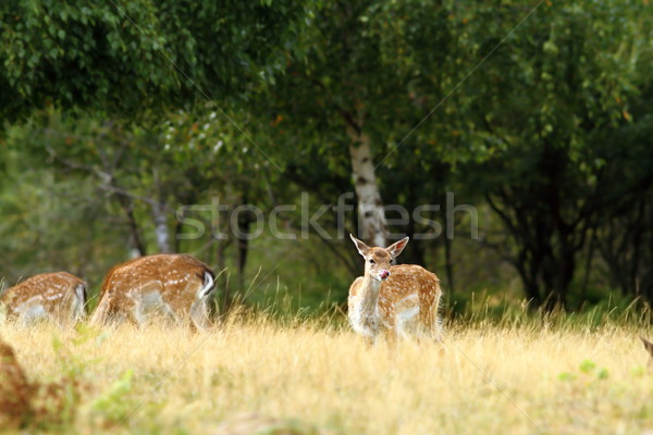 fallow deer doe in a clearing Stock photo © taviphoto