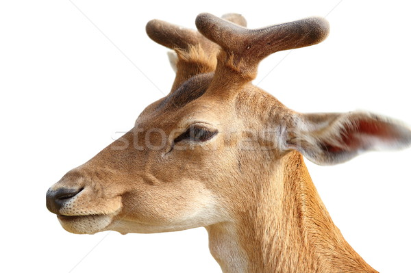 isolated portrait of  young fallow deer buck Stock photo © taviphoto