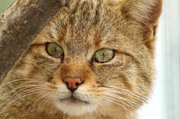 Sauvage chat portrait zoo visage yeux Photo stock © taviphoto