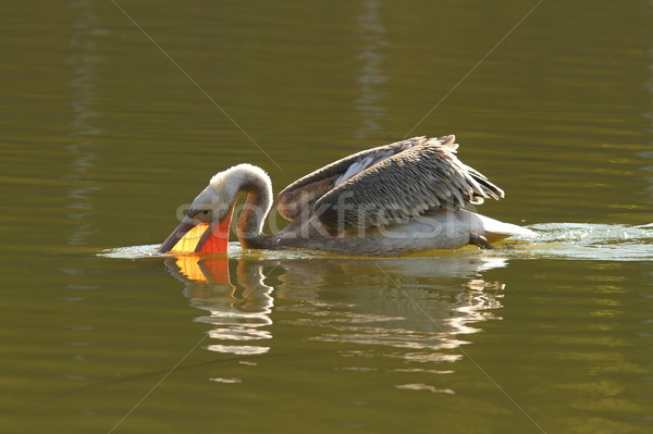 juvenile great pelican fishing Stock photo © taviphoto