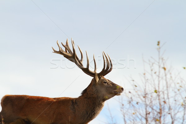 big red deer stag Stock photo © taviphoto