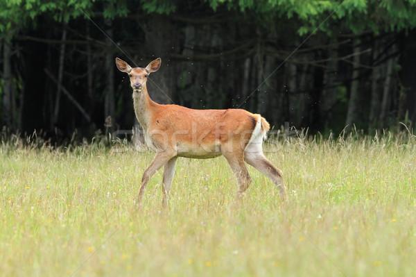 curious red deer doe Stock photo © taviphoto