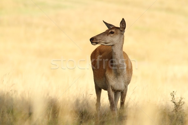 red deer doe in a glade Stock photo © taviphoto