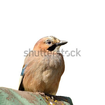 isolated eurasian jay Stock photo © taviphoto