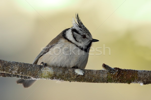 cute european crested tit in the garden Stock photo © taviphoto