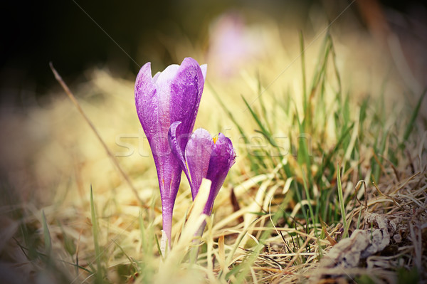 beautiful saffron wild flower Stock photo © taviphoto