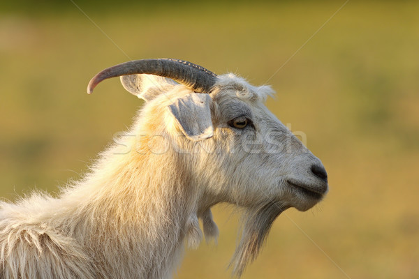 bearded white goat Stock photo © taviphoto