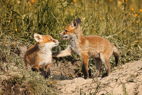 fox brothers playing in natural habitat Stock photo © taviphoto