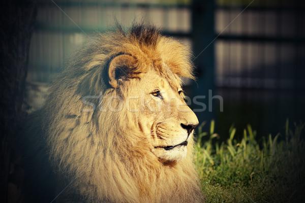 портрет большой лев зоопарке кошки голову Сток-фото © taviphoto