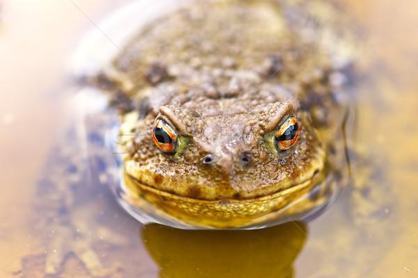 ブラウン ヒキガエル 水 立って 春 顔 ストックフォト © taviphoto