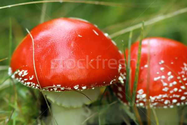 fly agaric closeup Stock photo © taviphoto