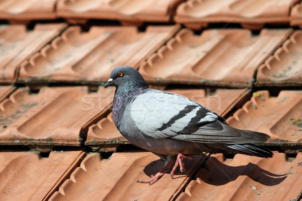 Pombo caminhada telhado azulejos primavera dia Foto stock © taviphoto