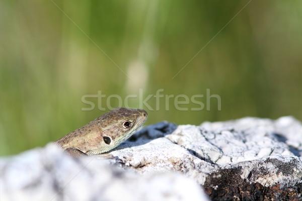 juvenile lacerta viridis hiding Stock photo © taviphoto