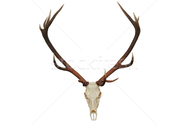 beautiful red deer hunting trophy Stock photo © taviphoto