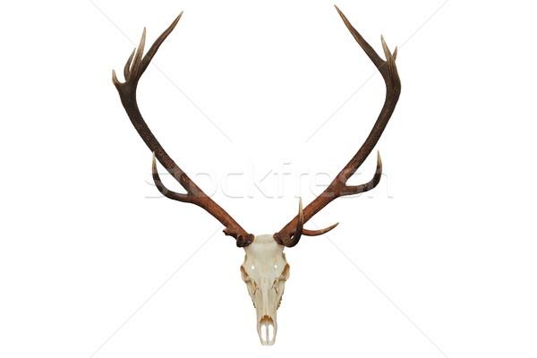 Bella rosso cervo caccia trofeo isolato Foto d'archivio © taviphoto